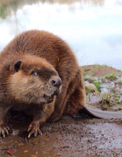 Beaver release - Copy
