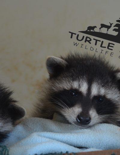 Juvenile Raccoons