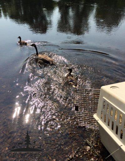 Duck & Mallard release - Copy