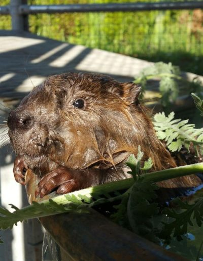 Juvenile American Beaver